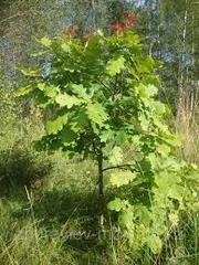 Саженцы дуба,  березы и другие
